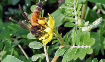 Gaint_Honey_Bee_(Apis_dorsata)_on_Tribulus_terrestris_W_IMG_1020