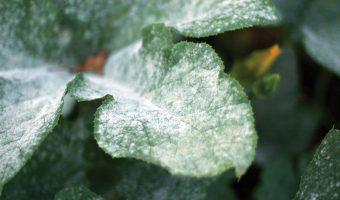 mildew-pumpkin-leaves
