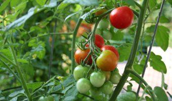 tajagro_vine-tomato-plant